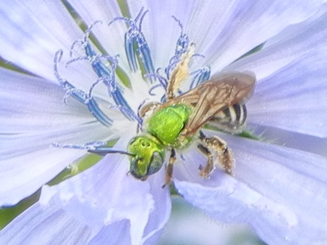 Closeup of a bright metallic green colored bee on a light blue chickory flower