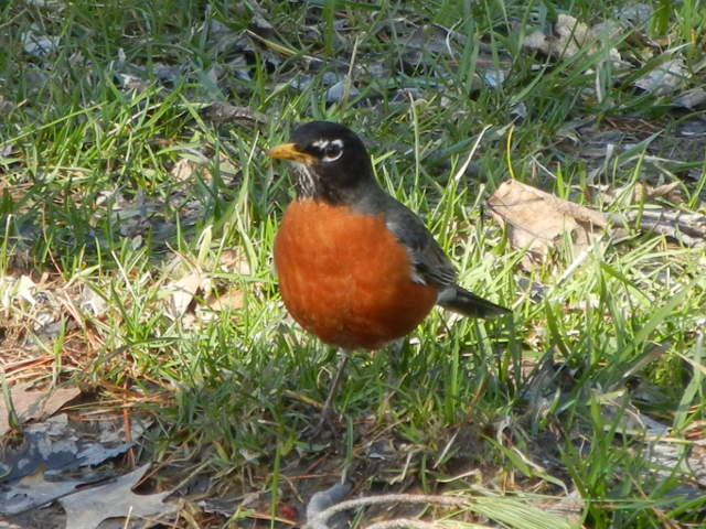 Male American Robin, chubby, with vibrant red breast, in grass, with scattered dead leaves