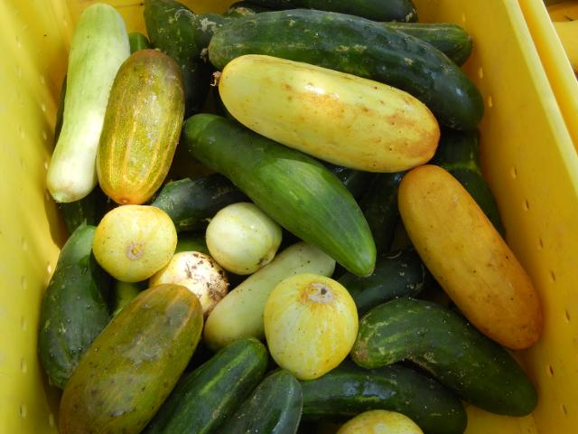 A bin of cucumbers of many different shapes and sizes, showing green, yellow, orange, and white, and a few perfectly round yellow cucumbers