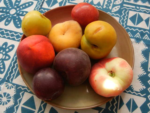 A ceramic plate with eight fruit, plums, apricot, peaches, and nectarine, of varying sizes, shapes, and colors, with a teal and white tablecloth in the background