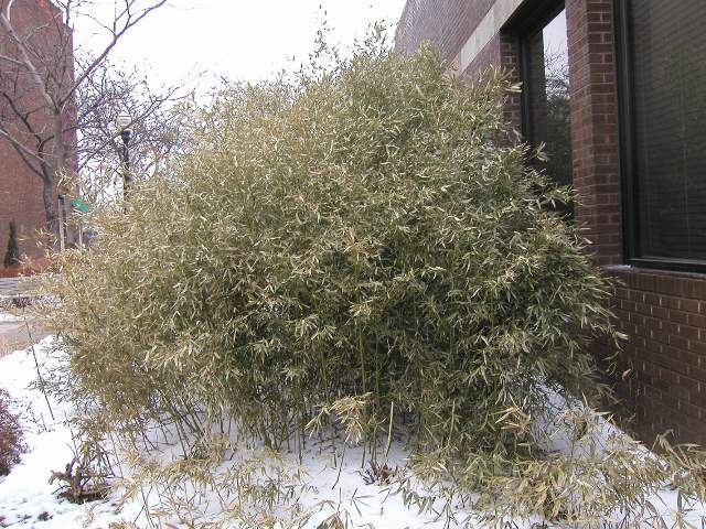 Bamboo, mostly brown and yellow, unhealthy looking, with snow on the ground
