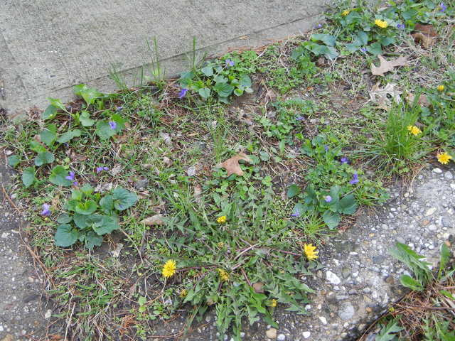 A segment of grass near a sidewalk, with violets and dandelions blooming, and clover