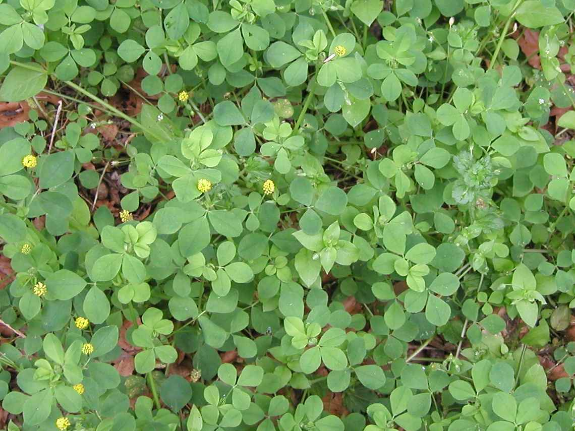 Photo of black medic, a small, clover-like plant with three leaves, showing a few small clusters of tiny yellow flowers
