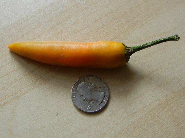 A carrot-colored chili pepper, with dry green stem, smooth, straight, about three quarter-lengths long, with a quarter for comparison, on a light wooden-colored surface