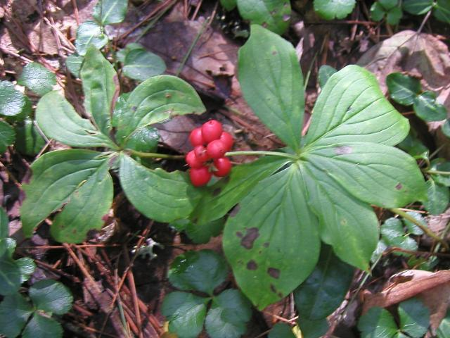 Photo of a plant on the forest floor with a cluster of bright red berries, and two radially arranged sets of leaves with well-defined veins.