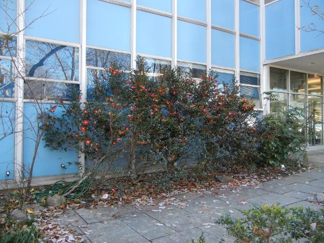 A row of Christmas Camellias, in bloom, evergreen plants with big red flowers, outside a relatively ugly blue building