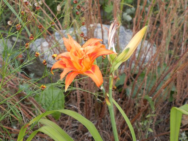 A double daylily, orange and flame-red, and a closed bud, with other plants and a rock in the background