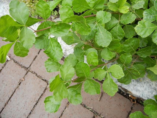 Fragrant sumac extending over a brick path, wth sets of three light green leaflets with soft, round lobes, leaves branching in alternate fashion from stems