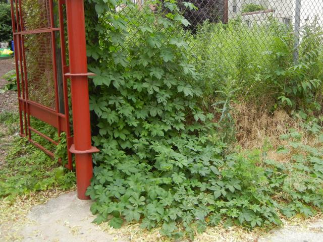 A hop vine, with deeply lobed leaves, climbing a chain-lined fence, with a red gate on the left, sidewalk in foreground, and some weedy plants in the back