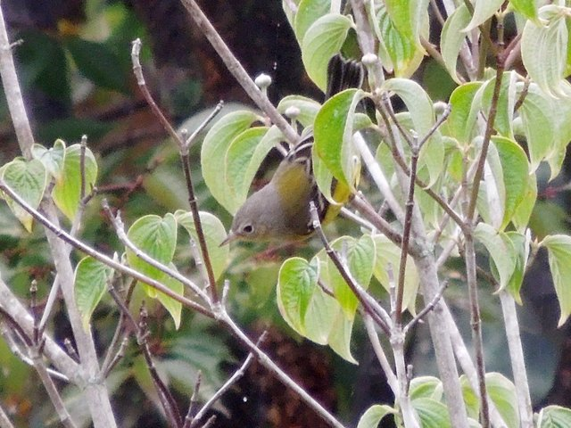 magnolia warbler fall - photo #34