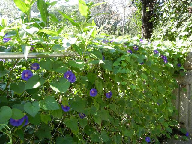 Blue-purple morning glories blooming, on a chain link fence, sunlight filtering through