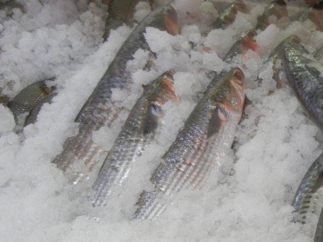 Mullet fish photos on for Eating mullet fish