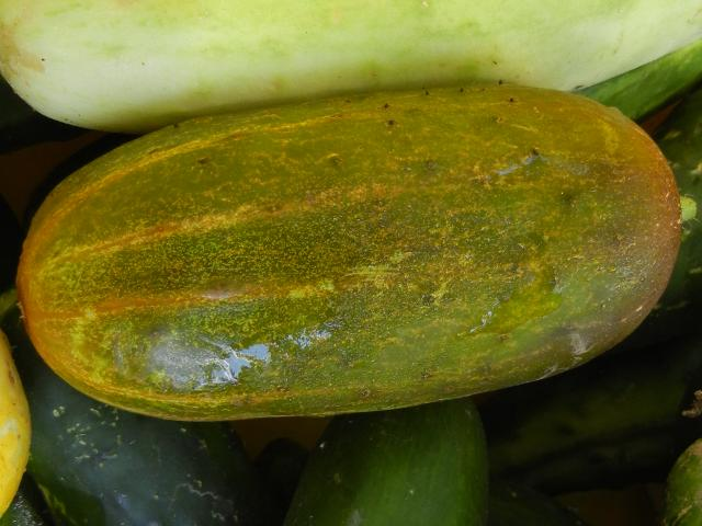 An orange cucumber, a mid-sized, chubby cucumber showing green with muted orange color