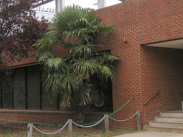 A large windmill palm tree growing outside a modern brick building, just taller than the 1-story building, with lush foliage