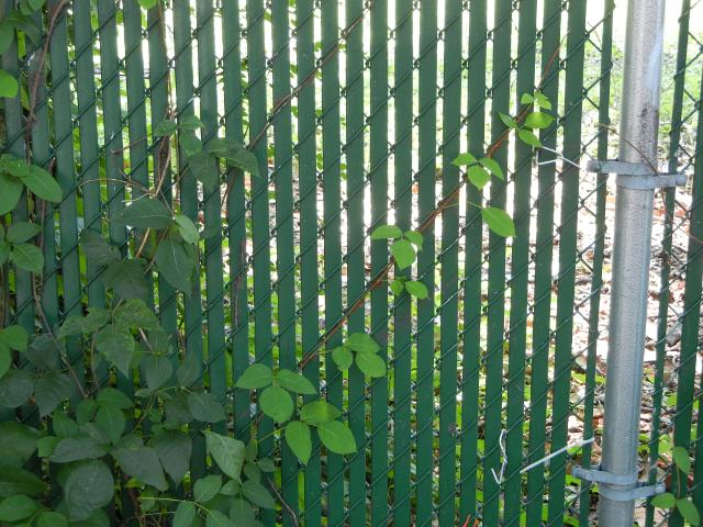 Poison Ivy Growing Diagonally Along Chain Link Fence