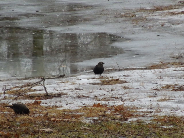 Two rusty blackbirdss on an ice-covered grassy area