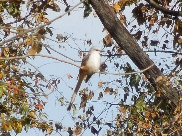 A scissor-tailed flycatcher, a kingbird-like bird with a very long tail, perched among fall foliage