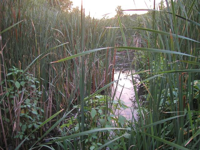 Wetlands with tall reeds and cattails, and a few small plants in the foreground, showing a brief patch of water and sky, the water reflecting clouds in a bright sky showing purplish colors of a sunset
