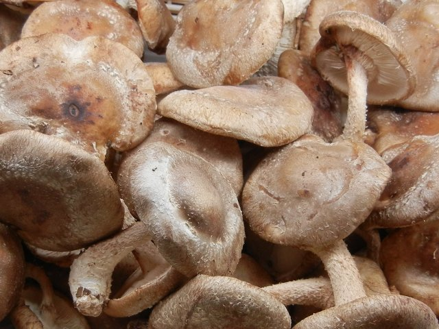 Organic shiitake mushrooms, showing large, flat caps, medium brown, and stems, both with a rather hairy look