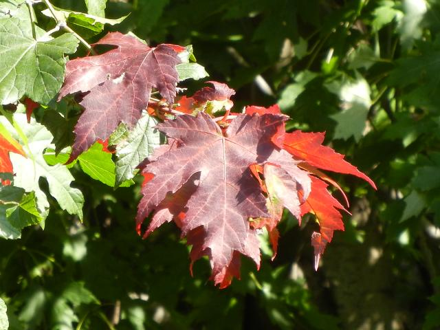 Deeply lobed, serrated maple leaves, a dark red color