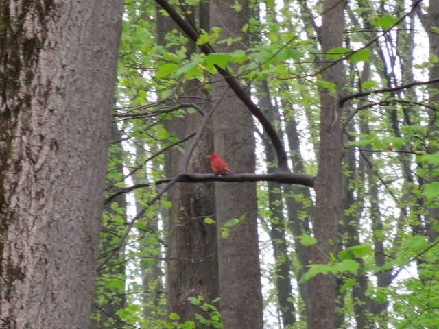 A bright red bird, summer tanager, perched on a horizontal branch in a hardwood forest