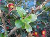 A bare branch of a Christmas Camellia showing pruning and a young, bright green resprout, with blooms in the background