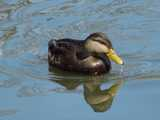 An American Black Duck, with dark brown body and yellow bill, in water, with ripples