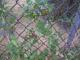 Bittersweet nightshade, showing green, red, and orange berries, and dark green heart-shaped leaves, climbing a chain link fence, with dead grass in the background.