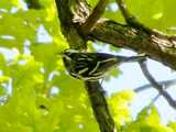 Black-and-white warbler, a small, black and white striped bird, on a branch of an oak tree, with yellowish green leaves and sky in the background