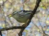 A black-and-white warbler, small, black and white striped bird, on a small branch or large twig, with blurry branches in the background