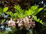 Photo of a black locust branch with round leaflets on leaves, and large clusters of light pink flowers