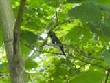 A male black-throated blue warbler, perched on a branch, against leaves and behind a few branches