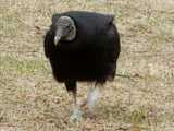 A black vulture, walking towards the camera, on mostly dead grass