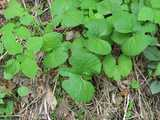Bloodroot leaves, oddly shaped leaves, broad, heart-like with lobes near the tip, among other leafy plants close to the ground