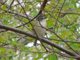 A blue-headed vireo, sitting upright on a branch, with foliage surrounding