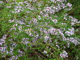 Blue wood aster, showing many small light blue daisy-like flowers, with red centers