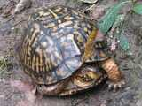 A common box turtle, showing orange and black patterned shell, and a red eye, walking across muddy ground