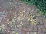 An old brick sidewalk, being encroached upon by ivy, and showing some small dry leaves