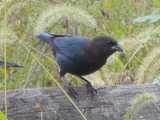 A brown-headed cowbird, perched on a fence, with black body, dark brown head, and very heavy, stout black bill