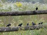 Six male brown-headed cowbirds on a fence, with a blooming meadow in the background and grass seedheads in the foreground