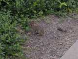 A bunny (wild eastern cottontail rabbit) on some mulch, with euonymus nearby, near a sidewalk