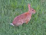 A wild rabbit, with big brown eye, brown fur, and white fluffy tail, in short grass like a lawn