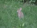 Photo of a rabbit, standing upright and facing to the left, in a lawn with mostly grass and a few other plants