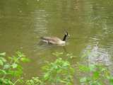 A Canada Goose in a shallow creek, with box elder foliage in the foreground