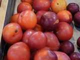Cardinal plums in a metal bin, showing bright cardinal-red color, and some blemishes, with a few darker and smaller purple plums on the right