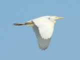 A cattle egret in flight, a large white egret with a stout neck, yellow bill, short, rounded wings, and yellow crest