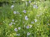 Chickory flowers, pale blue daisy-like flowers with a darker blue center, in a weedy meadow with a few other flowers around the edge