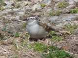 A chipping sparrow, in a gravely area