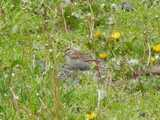 Chipping sparrow feeding in weedy grass, with abundant dandelion flowers and seedheads