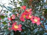 A blooming Christmas Camellia, an evergreen plant with tough, dark green pointy leaves, showing big red blossoms with yellow centers.